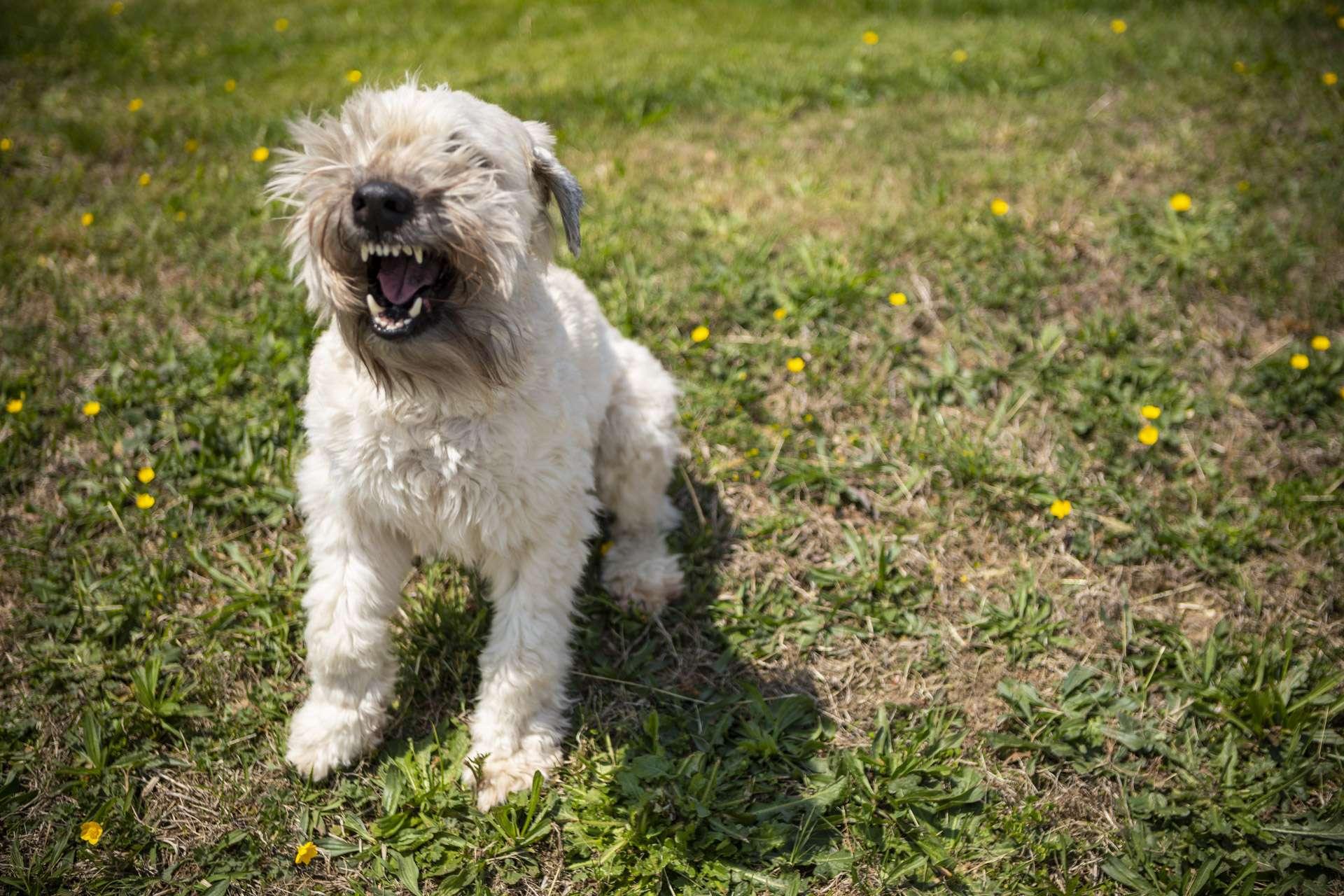 lawn-weeds-dog-3