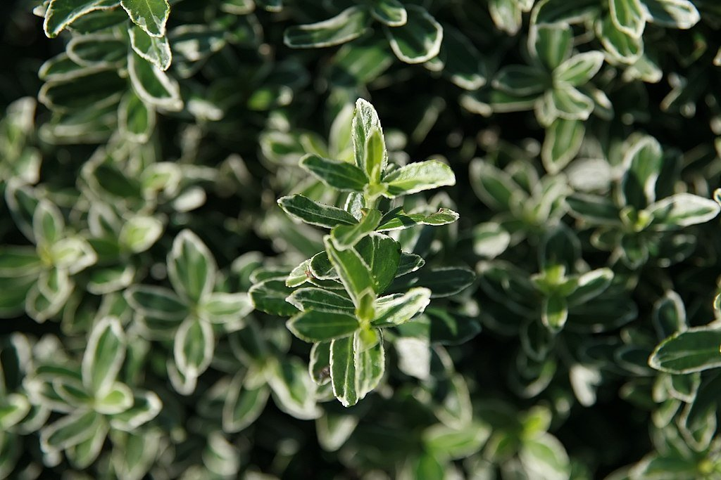 Boxleaf Euonymus