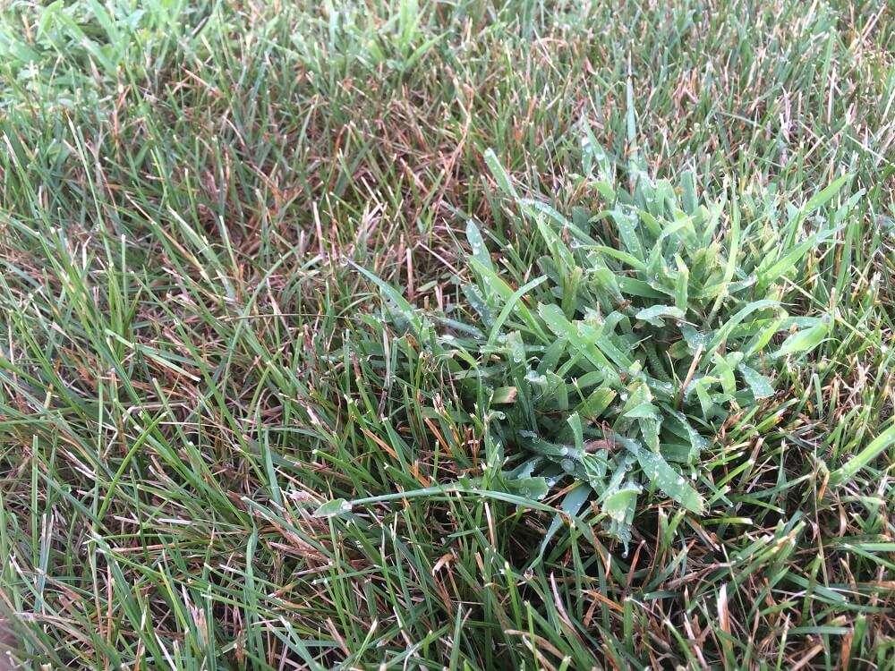 Crabgrass in lawn that needs crabgrass treatment