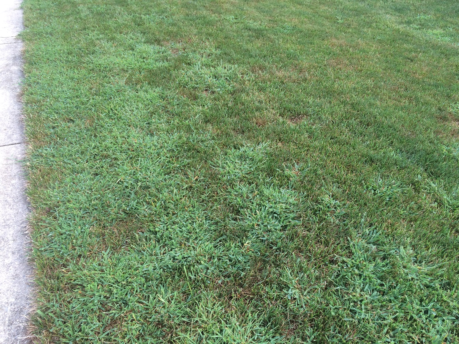 Crabgrass weed in lawn