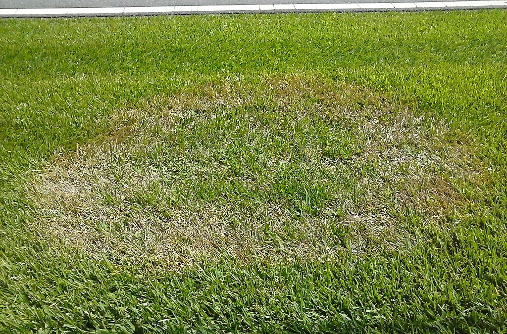 Brown Patch lawn fungus disease
