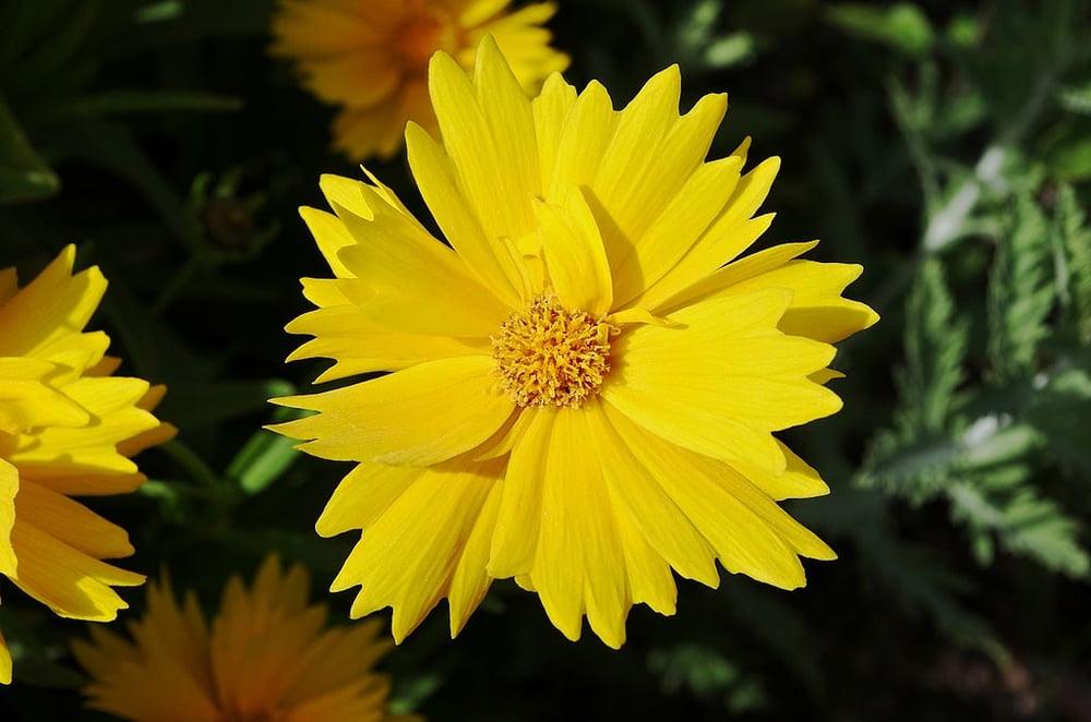 drought-tolerant coreopsis flower