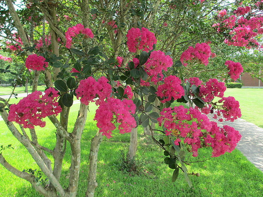 Low maintenance crape myrtle tree