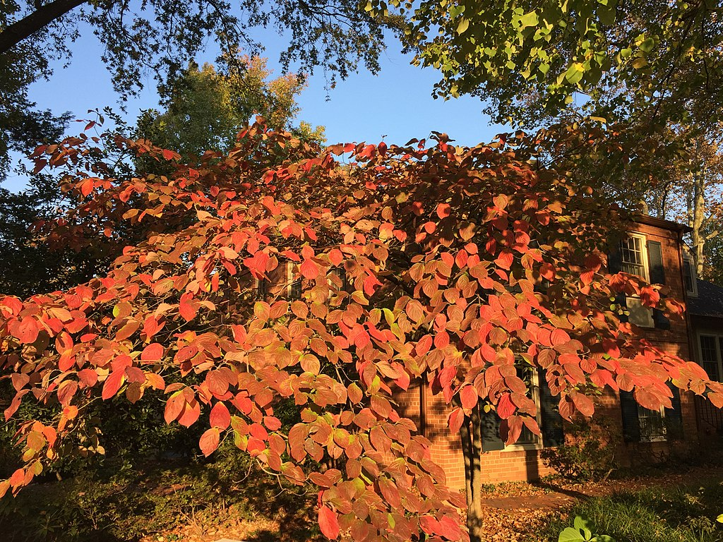 Dogwood Autumn