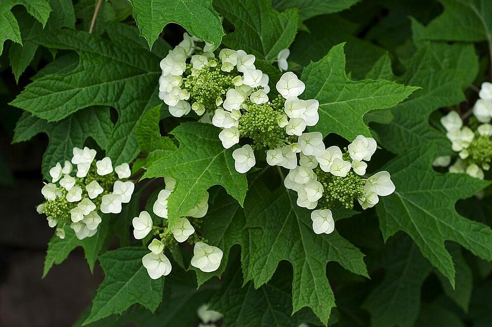 Easy to grow hydrangea
