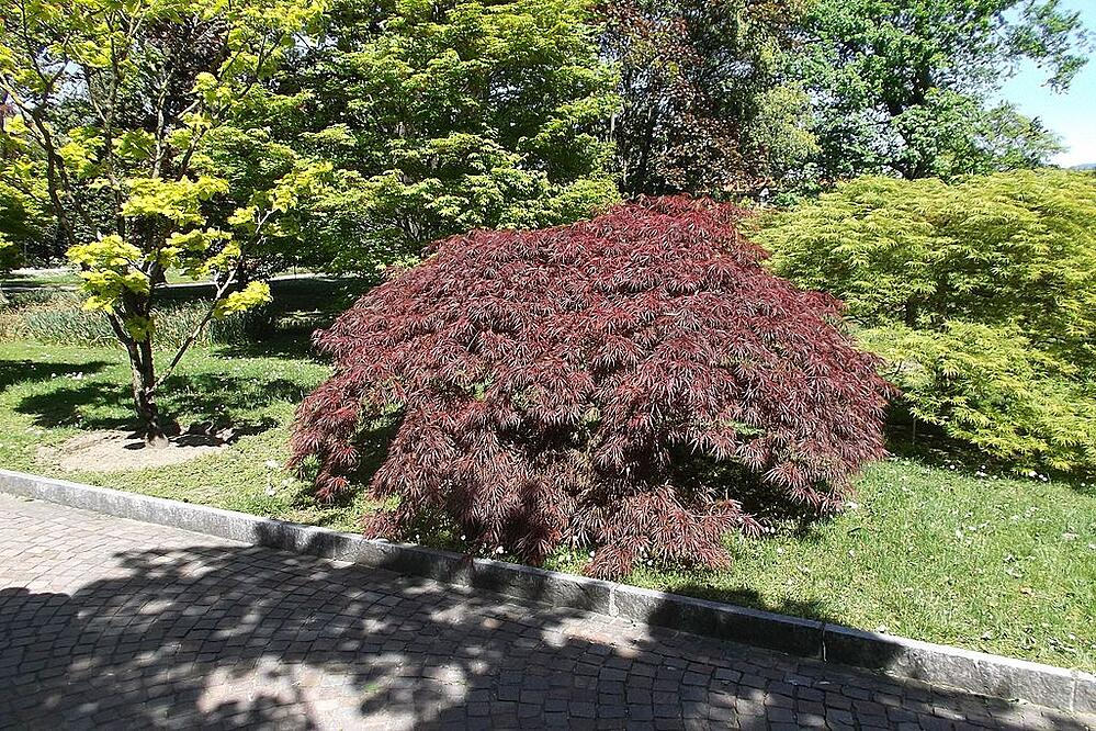 Japanese Maple low maintenance tree