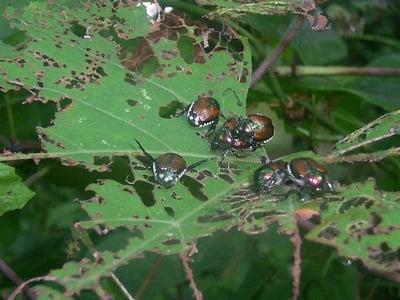Japanese beetles damaging plant