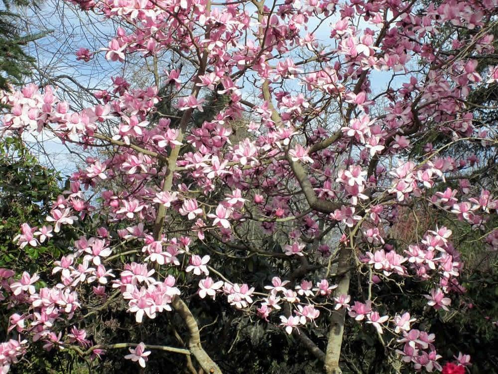 Magnolia Tree low maintenance ornamental accent