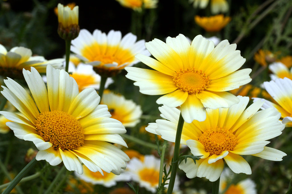 Yellow and white chrysanthemum