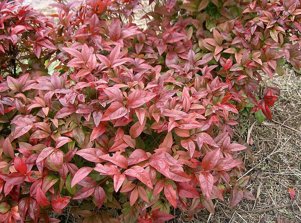 Nandina shrub in lawn
