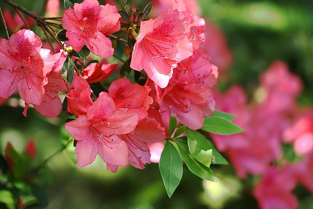 easy to care for pink azaleas