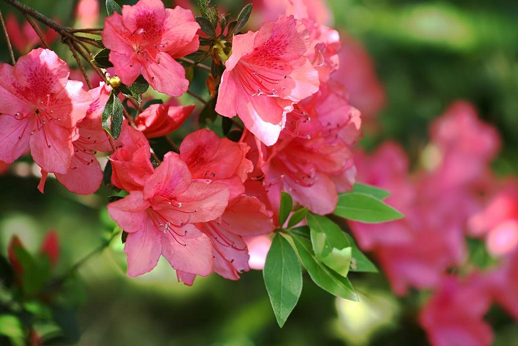 Pink Azaleas that were fertilized