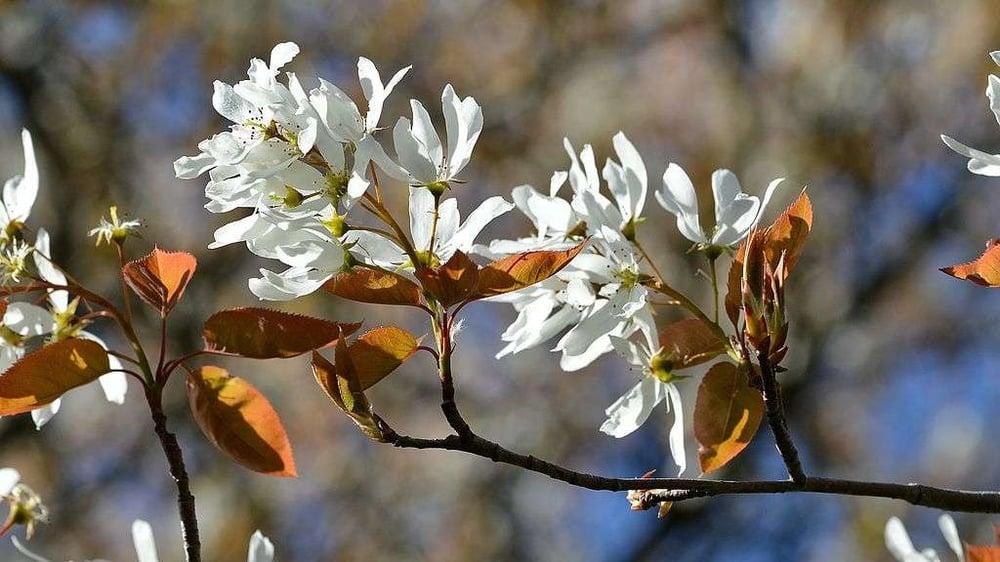 Serviceberry tree blooms