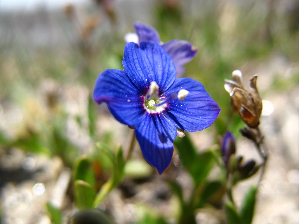 Speedwell lawn weed
