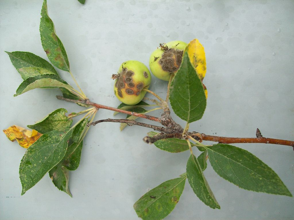 apple scab tree disease