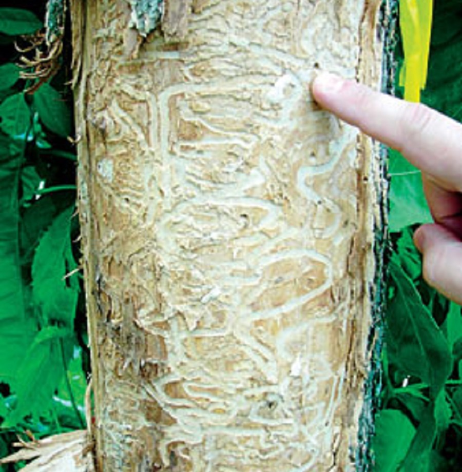 ash borer tunnels in tree