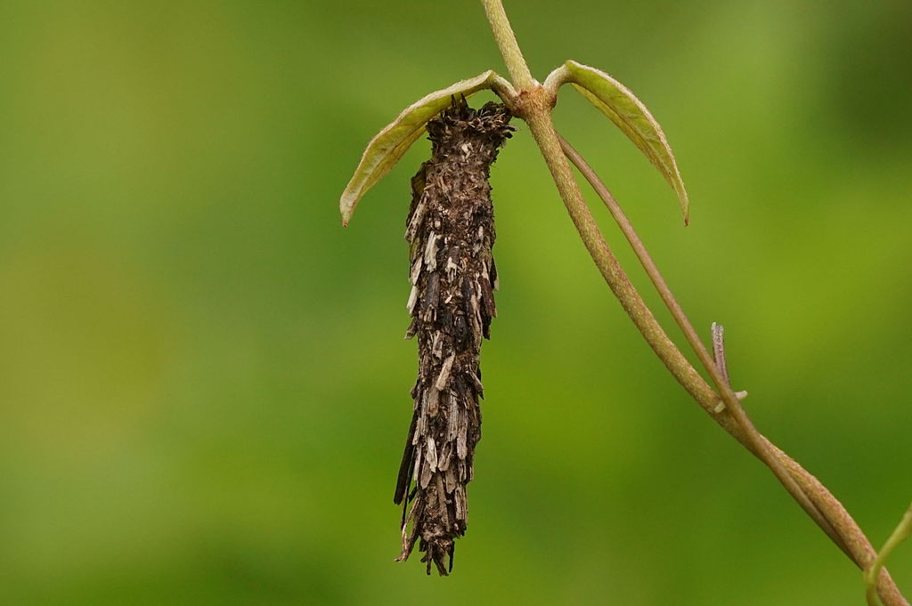 bagworm damaging shrub