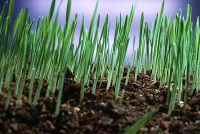 grass-growing
