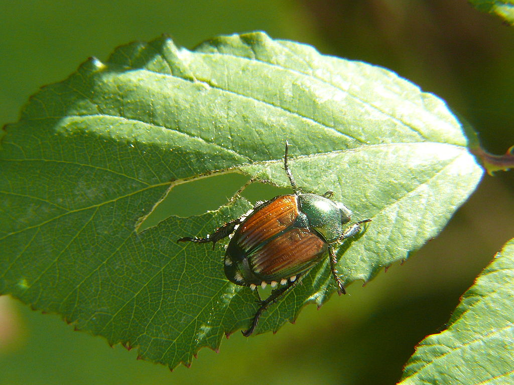 japanese beetle eating tree leaf