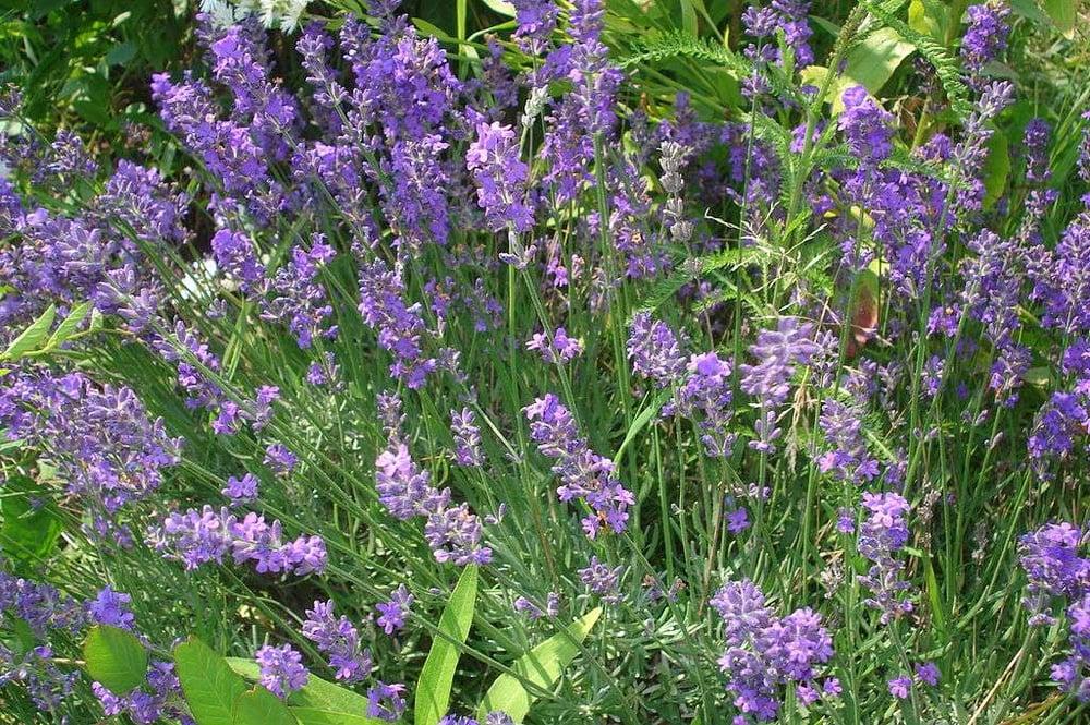 low maintenance lavender flower