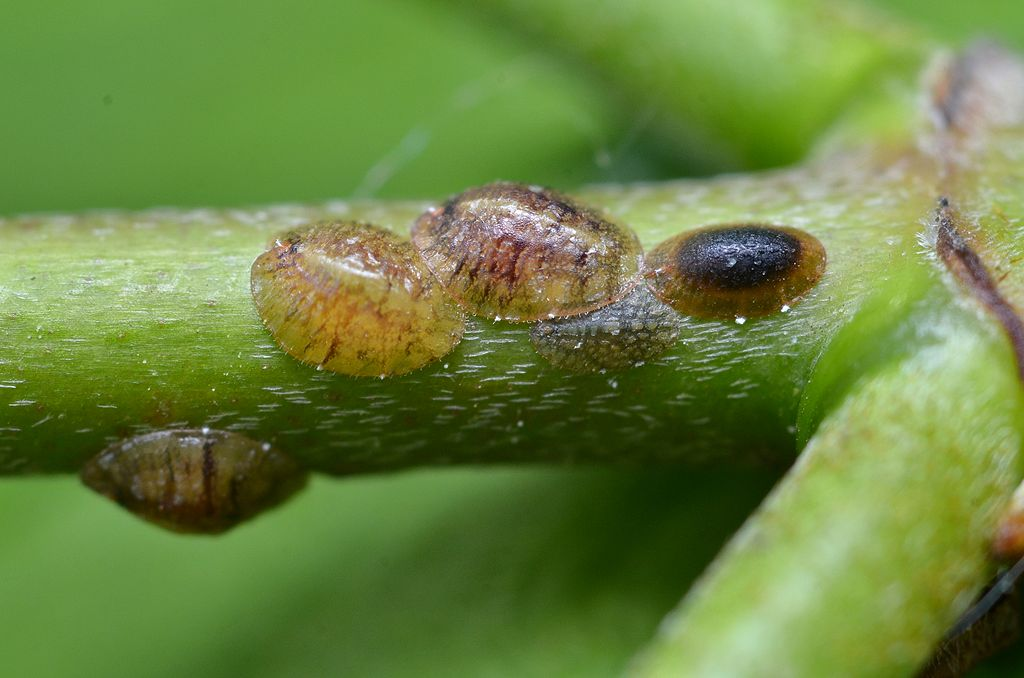 scale insect tree pests on green branch