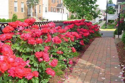 landscaping-planting-roses-walkway-1
