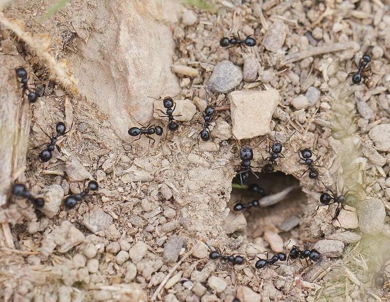 Little-blaack-ants