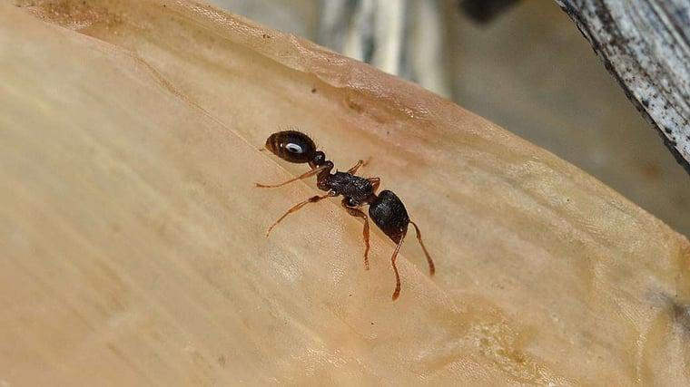 Pavement-ant