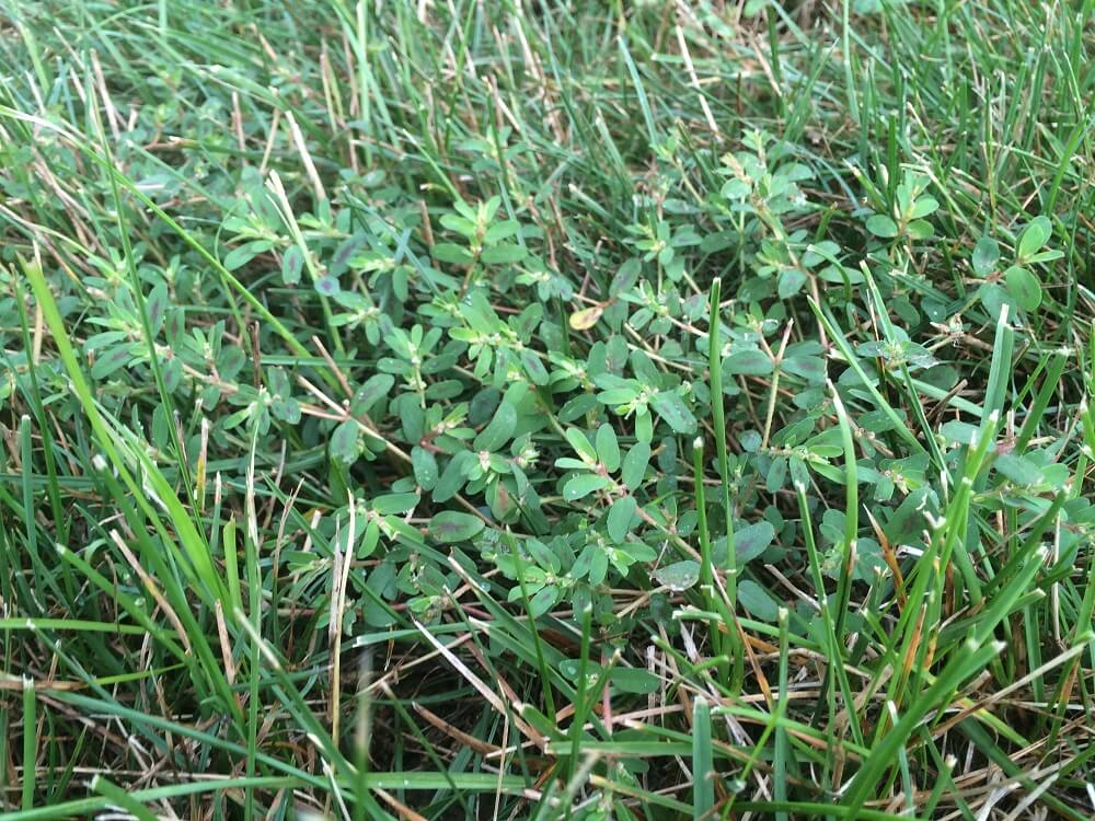 Spotted spurge weed in lawn in Virginia