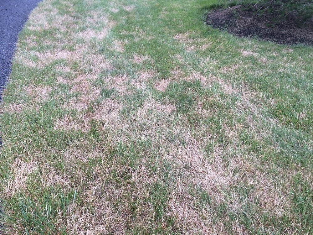 lawn with turf disease