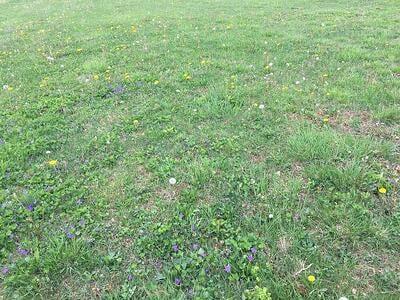 Weeds in northern Virginia lawn