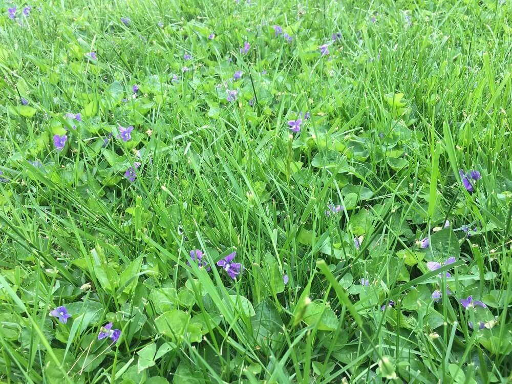 Wild violets in lawn
