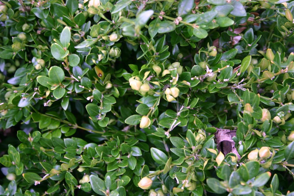boxwood psyllid damage