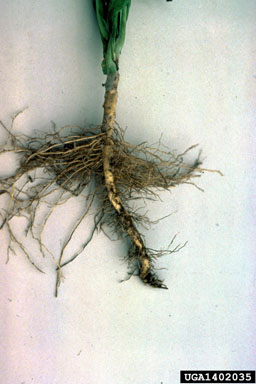 boxwood root rot