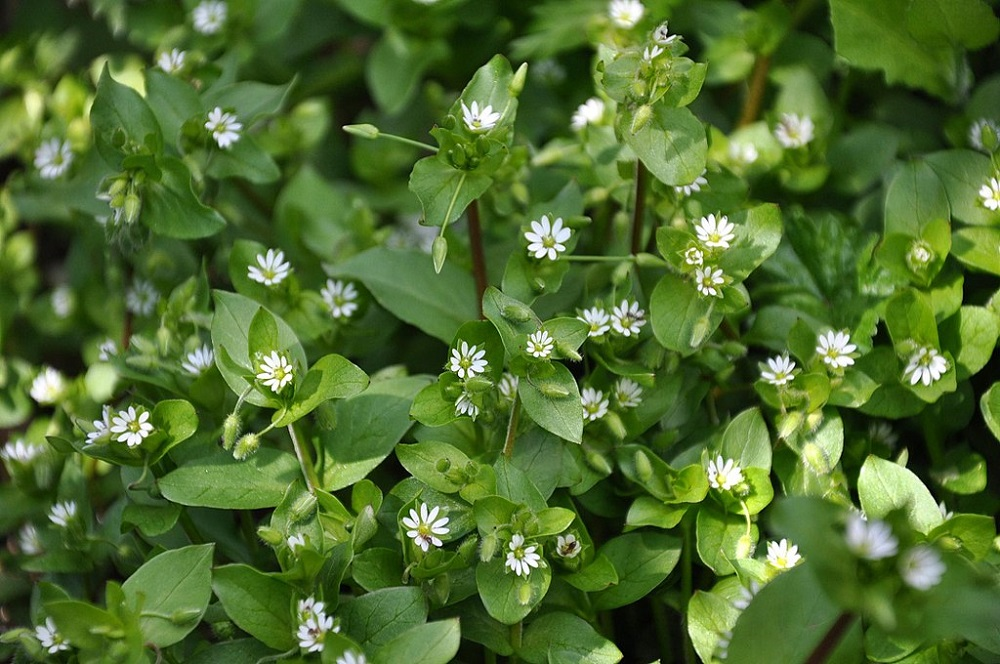 common chickweed in lawn
