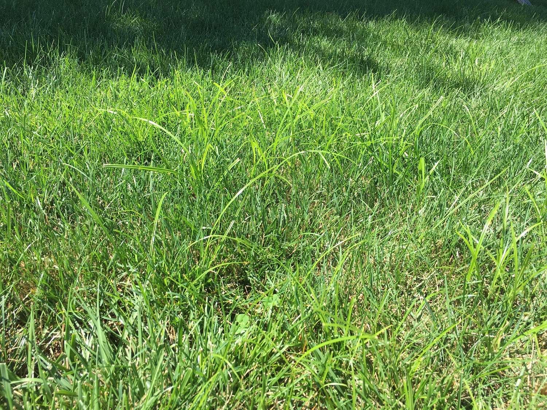 Nutsedge weed in grass