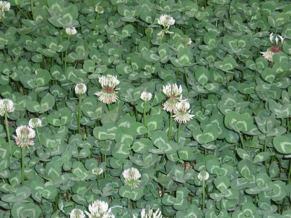 white clover lawn weed