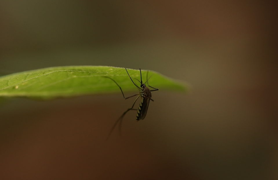 Mosquito on leaf with pest control
