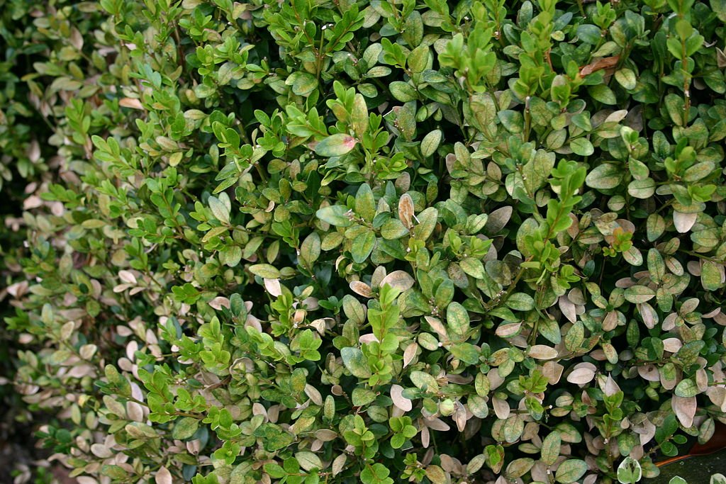 boxwood mite damage